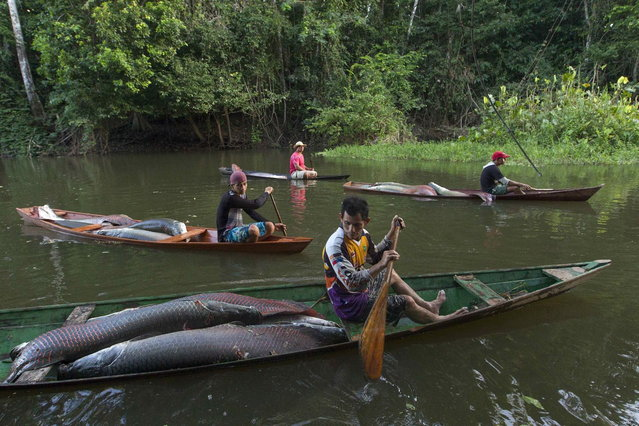 Villagers from the Rumao Island community paddle their canoes loaded with arapaima or pirarucu, the largest freshwater fish species in South America and one of the largest in the world, while fishing in a branch of the Solimoes river, one of the main tributaries of the Amazon, in the Mamiraua nature reserve near Fonte Boa about 600 km (373 miles) west of Manaus, November 24, 2013. (Photo by Bruno Kelly/Reuters)