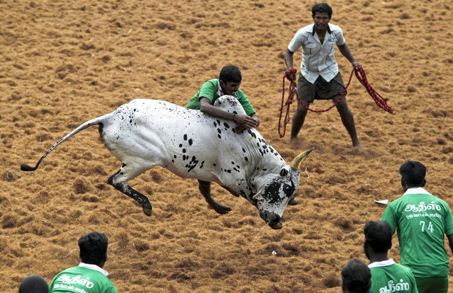 A participant tackles a bull during a bull-taming sport called Jallikattu in Palamedu, about 434 kilometers (269 miles) south of Chennai, India, Wednesday, January 15, 2014. (Photo by Arun Sankar K./AP Photo)