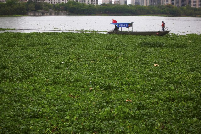 Workers on a boat clean up the water lettuce on the surface of Xizhi River, in Huizhou, Guangdong province April 8, 2015. Picture taken April 8, 2015. (Photo by Reuters/Stringer)