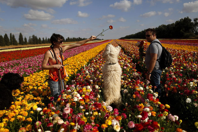 An Israeli woman plays with her dogs as she picks buttercups in a field near Kibbutz Nir Yitzhak, located a few kilometers from the Israeli border with the Gaza Strip, Israel, 24 April 2015. The bulbs of the flowers are grown for sale abroad, mostly in Europe.  (Photo by Abir Sultan/EPA)