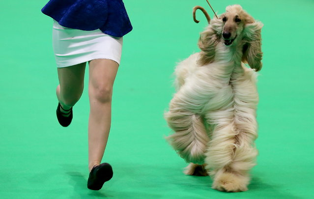An Afghan Hound on show during the annual Crufts Dog Show at the NEC Arena in Birmingham, Britain, 7 March 2019. The world's largest dog show will be held from 7 to 10 March with 22,000 dogs competing for the world class title of Crufts Best In Show. (Photo by Nigel Roddis/EPA/EFE)