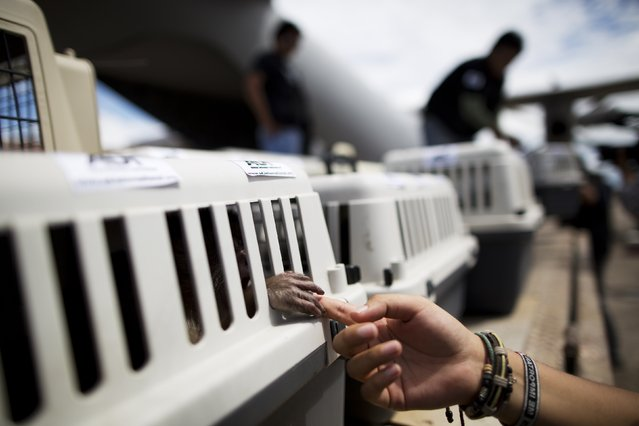 In this April 18, 2015 photo, a monkey holds onto the finger of an Animal Defenders International worker, as pet carriers housing rescued animals are unloaded from a military aircraft at the airport in Iquitos, Peru. (Photo by Rodrigo Abd/AP Photo)