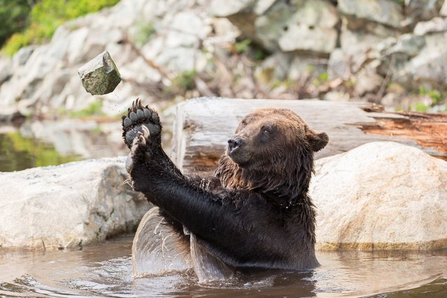 This athletic bear flexes his muscles by picking up rocks from a pond near his home – and throwing them like a shotput. The adult grizzly – named Coola – impresses conservationists with his Olympic efforts by hurling the debris several yards. Photographer Devin Manky captured the playful activity at Grouse Mountain Refuge for Endangered Wildlife, in North Vancouver, Canada. (Photo by Devin Manky/Solent News & Photo Agency)