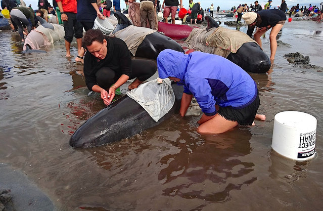 Volunteers try to keep alive some of the hundreds of stranded pilot whales after one of the country's largest recorded mass whale strandings, in Golden Bay, at the top of New Zealand's South Island, February 10, 2017. (Photo by Ross Wearing/Reuters)
