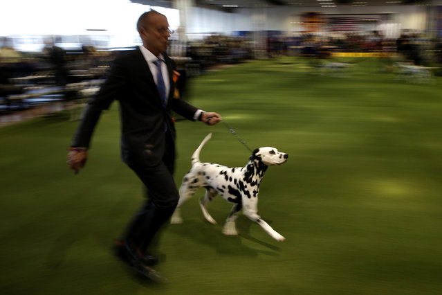 A handler runs a Dalmatian in the ring during competition at the 141st Westminster Kennel Club Dog Show in New York City, February 13, 2017. (Photo by Mike Segar/Reuters)