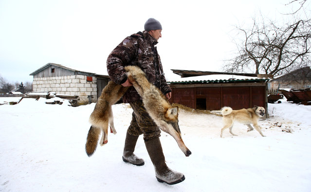 Nikolay Skidan, a hunter, carries the skin of a wolf in the village of Khrapkovo, Belarus February 1, 2017. (Photo by Vasily Fedosenko/Reuters)