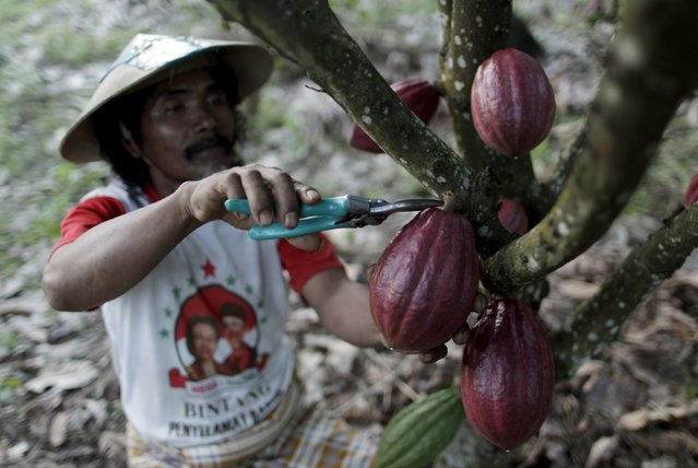 A farmer harvests cocoa fruit at a plantation in Gantarang Keke Village, South Sulawesi, Indonesia May 7, 2015. Sulawesi is at the heart of Asia's largest cocoa producing region, and is where some international confectioners are looking to boost output to feed growing demand for chocolate in the region. (Photo by Yusuf Ahmad/Reuters)