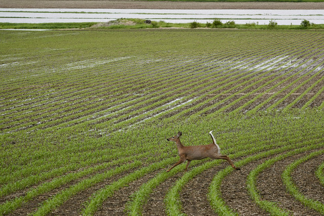 In this May 29, 2019 photo, a deer runs through a field which is partially flooded near Anderson, Iowa. Thousands of Midwest farmers are trying to make decisions as they endure a spring like no other. It started with a continuation of poor prices for corn and soybeans that fell even further as tariffs imposed by the U.S. and China ratcheted higher. Next came flooding from melting snow followed by day after day of torrential rains that made planting impossible or flooded fields where plants were just starting to emerge. (Photo by Nati Harnik/AP Photo)