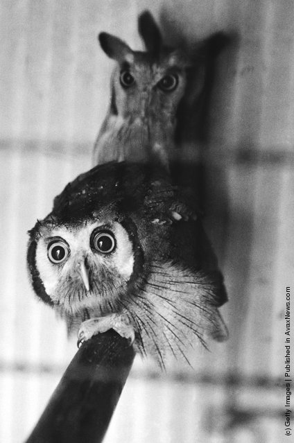A pair of owls at a zoo, 1953