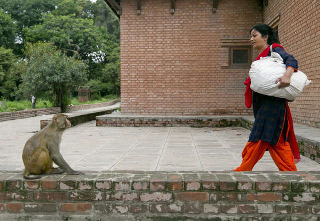 In this July 8, 2019, photo, Saraswati Dangol arrives with a sack of roti or flat bread to feed monkeys near Pashupatinath temple in Kathmandu, Nepal. In the forests of Nepal's capital Kathmandu near the revered Hindu temple of Pashupatinath, some 300 monkeys eagerly await their pieces of roti or flat bread every day. For the past four years, Dangol has been bringing the bread every day to feed the monkeys. She buys some 10 kilograms (22 pounds) of flour and spends hours cooking the roti, traveling to the forest temple and feeding them daily. (Photo by Niranjan Shrestha/AP Photo)