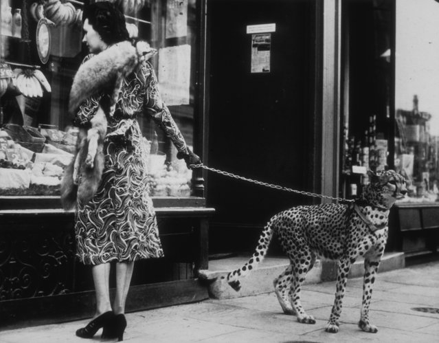American silent film actress Phyllis Gordon (1889 – 1964) window-shopping in Earls Court, London on August 9, 1939 with her four-year-old cheetah who was flown to Britain from Kenya. (Photo by B C Parade/Getty Images)