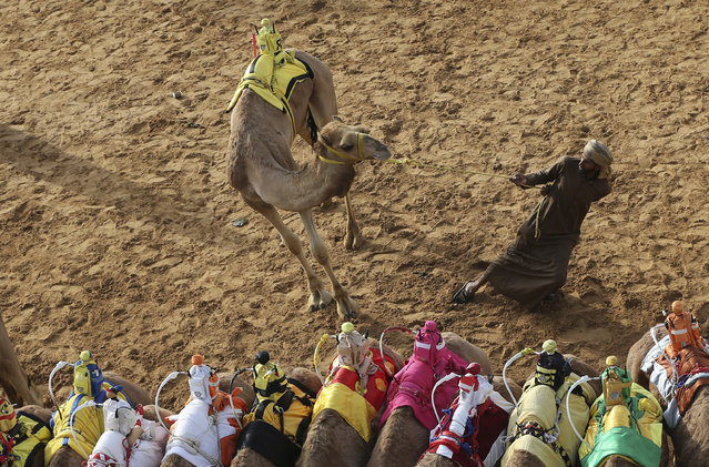 In this Saturday, April 8, 2017 photo, a camel keeper tries to control his camel ahead of a race at the Al Marmoom Camel Racetrack, in al-Lisaili about 40 km (25  miles) southeast of Dubai, United Arab Emirates. (Photo by Kamran Jebreili/AP Photo)