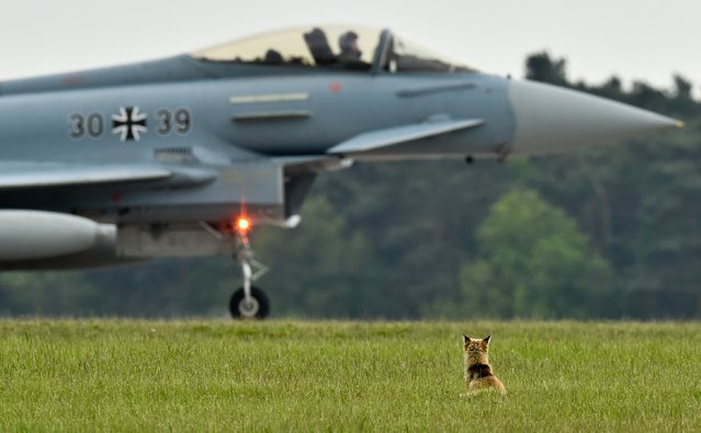 A red fox sits in front of a Eurofighter Typhoon combat jet on the grounds of the 2014 ILA Berlin Air Show, in Selchow near Schoenefeld, Germany, Thursday, May 15, 2014. The International Aviation and Aerospace Exhibition ILA will take place from May 20 until May 25, 2014. (Photo by Patrick Pleul/AP Photo/DPA)