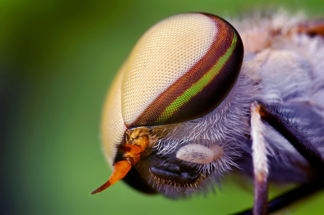 Head of a Male Striped Horse Fly (Tabanus lineola)
