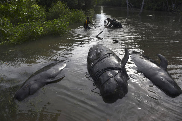 An Indonesian soldier and resident inspect dead whales stranded on the coast of Pesisir beach in Probolinggo, Indonesia, June 16, 2016. (Photo by abur Karuru/Reuters/Antara Foto)