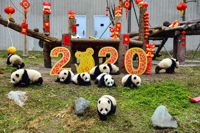 Panda cubs born in 2019 play next to decorations to celebrate the upcoming Lunar New Year of the Rat, which falls on January 25 this year, at the Shenshuping breeding base of Wolong National Nature Reserve in Wenchuan, China's southwestern Sichuan province on January 17, 2020. (Photo by AFP Photo/China Stringer Network)