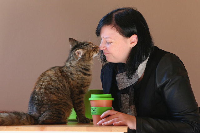 A customer plays with a cat as she drinks a coffee at Cat Cafe Melbourne on July 25, 2014 in Melbourne, Australia. Cat Cafe Melbourne is Australias first cat cafe. The cafe has several cats from rescue shelters which live at the premises. Patrons can watch and play with the cats while enjoying a coffee. Cat Cafes are becoming known world wide, the first opening in Taiwan in 1998. (Photo by Scott Barbour/Getty Images)