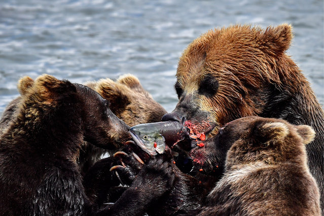A female brown bear with cubs fishing on Lake Kronotskoye as part of the South Kamchatka, Russia on Sanctuary, August 13, 2017. (Photo by TASS/Barcroft Images)