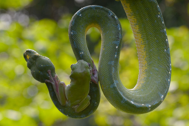 The frog and snake. Clinging on with sticky toes, a green tree frog sits bravely on its unlikely friend – a large tree python. Curled around the branches of a small coconut tree, the snake appears relatively undisturbed by the bold passenger that has clambered onto its skin.Grown in captivity together, the pair display no signs of aggression or fear, comfortable with their encounters high up in the leafy branches.  Photo enthusiast Fahmi Bhs watched in surprise as the frog slowly climbed along the scales of the metre long snake in a zoo in Jakarta, Indonesia. (Photo by Fahmi Bhs/Solent News/SIPA Press)