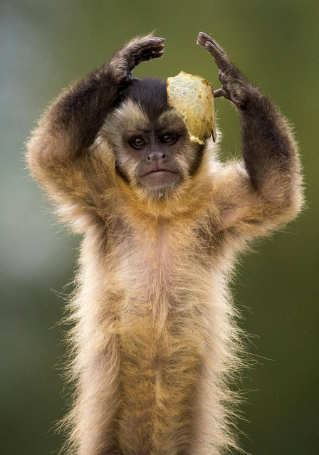 A black cap capuchin monkey plays with some food in its enclosure at the Olmense Zoo in Olmen, Belgium, September 2, 2015. (Photo by Yves Herman/Reuters)