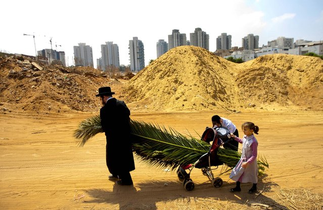 """An ultra-Orthodox Jewish man and his children push a baby stroller with palm fronds to be used to build a Sukka in Bnei Brak, Israel, on September 28, 2012. According to the Bible, during the Sukkot holiday, known as the Feast of the Tabernacles, Jews are commanded to bind together a palm frond, or """"lulav"""", with two other branches, along with an """"etrog"""", they make up the """"four species"""" used in holiday rituals. The week long holiday began on Sunday. (Photo by Ariel Schalit/Associated Press)"""