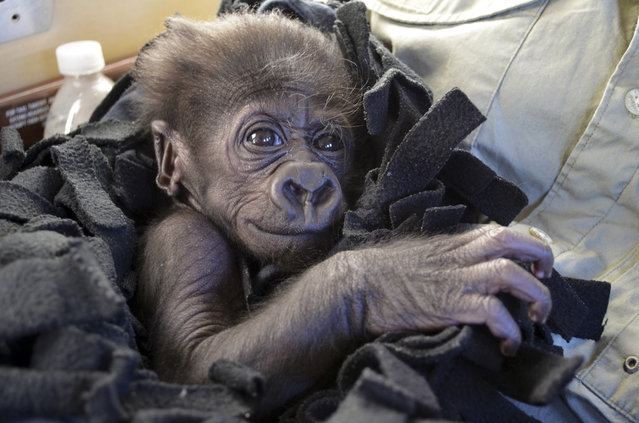 In this September 22, 2014 photo provided by the Cincinnati Zoo, Kamina, a baby Western Lowland gorilla, arrives in Cincinnati by private plane. The zoo has adopted Kamina, born August 16, 2014, from the Oklahoma City Zoo, after her mother shunned her and the Oklahoma zoo did not have an adult female able to adopt and raise her. (Photo by Michelle Curley/AP Photo/Cincinnati Zoo)