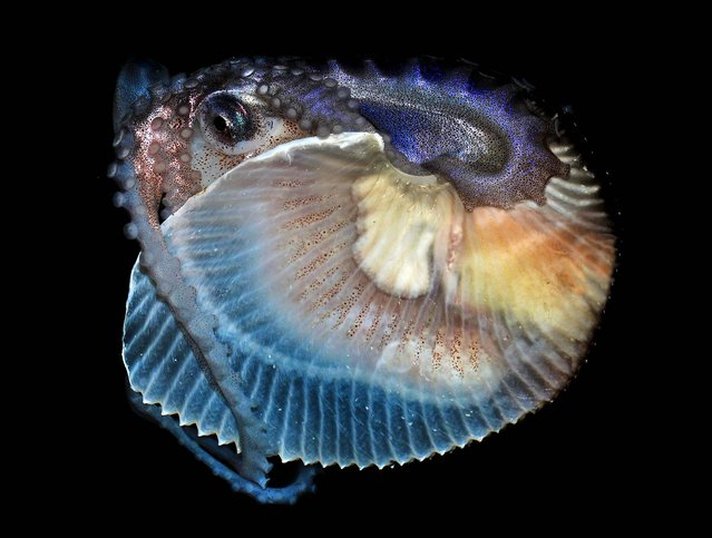 A baseball-sized female Argonaut, or paper nautilus, a species of cephalopod that was recently scooped out of the ocean off the California, is making herself at home at San Pedro's Cabrillo Marine Aquarium, bobbing up and down in her tank furling and unfurling her sucker-covered arms October 17, 2012. This strange octopus is rare in California, because it only lives in tropical and subtropical waters. (Photo by Gary Florin/Cabrillo Marine Aquarium)