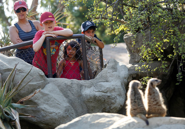 People look at meerkats during a summer day at the Los Angeles Zoo in Los Angeles, California U.S., August 13, 2016. (Photo by Mario Anzuoni/Reuters)