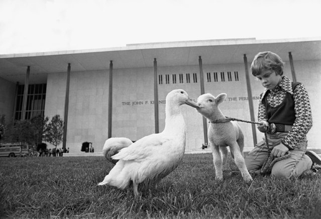 "Cuddles, a white duck living at the Kennedy Center for the Performing Arts in Washington, plays with a lamb named Rosemary and actor Shane Nickerson, 8, on the center's grounds, October 5, 1972. The three are connected with the musical ""Pippin,"" which is playing at the center. (Photo by Charles Tasnadi/AP Photo)"