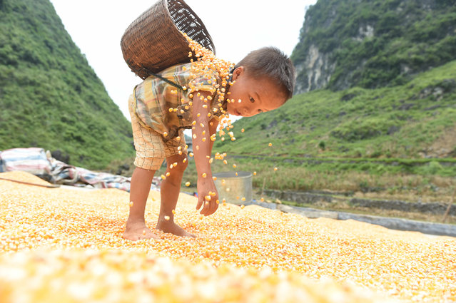 A boy helps to air dry the corn crop in Nongyong village, Guangxi province, China on August 21, 2016. (Photo by Xinhua/Barcroft Images)
