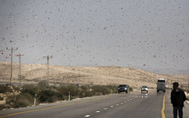 A swarm of locusts fly on March 6, 2013 above a highway in  the Israeli village of Kmehin in the Negev Desert near the Egyptian border. According the UN Food and Agriculture Organization (FAO) a swarm of tens of millions of locusts has overtaken Egyptian desert land in the past few days and is heading to the Gaza Strip, Israel and Jordan. (Photo by Menahem Kahana/AFP Photo)