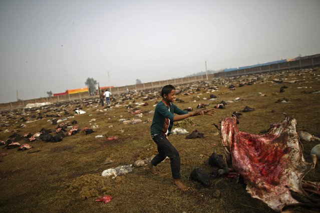 "A boy collects the skin of the sacrificed buffalos, which will be used to make leather goods, the day after the sacrificial ceremony of the ""Gadhimai Mela"" festival held in Bariyapur November 29, 2014. (Photo by Navesh Chitrakar/Reuters)"