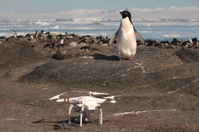 "This undated handout photograph released by Stony Brook University/ Louisiana State University on March 2, 2018, shows an Adélie penguin (R) looking at a drone at breeding colony on Heroina Island, Danger Islands, Antarctica. A thriving ""hotspot"" of some 1.5 million Adelie penguins has been discovered on the remote Danger Islands in the east Antarctic, surprised scientists announced on March 2, 2018. (Photo by Rachael Herman/AFP Photo/Louisiana State University AND Stony Brook University)"