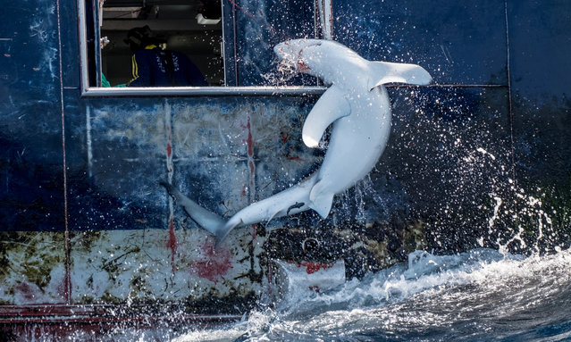 A shark is hauled into the hold of a Spanish longliner targeting swordfish in the South Atlantic Ocean. During September and October 2019 Greenpeace investigator Sophie Cooke and photographer Tommy Trenchard spent a month at sea on the Greenpeace ship Arctic Sunrise observing the hidden practices behind many of the deaths of 100 million sharks every year in the mid-Atlantic. (Photo by Tommy Trenchard/Greenpeace)