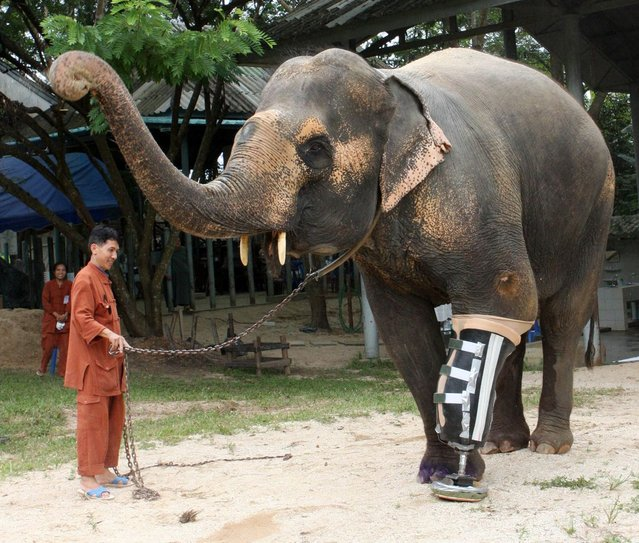 A 48-year-old female elephant named Motala walks on her newly attached prosthetic leg at the Elephant Hospital in Lampang province, north of Bangkok August 16, 2009. Motala's front left leg was maimed after she stepped on a landmine at the Myanmar-Thai border 10 years ago. (Photo by Phichaiyong Mayerku/Reuters)