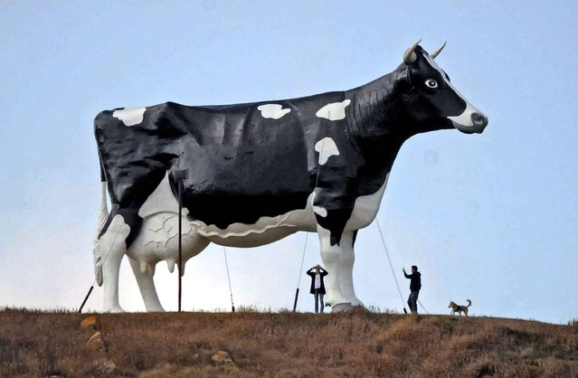 Two people, and a dog, visiting Salem Sue, the world's largest holstein cow discover the big bovine's commanding view of Interstate 94 from School Hill outside New Salem, ND., on Thursday, October 20, 2016. The big cow has been a North Dakota landmark since 1974. (Photo by Tom Stromme/Bismarck Tribune via AP Photo)