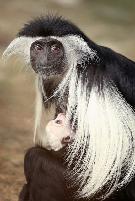 Olivia, a 5-year-old Angolan colobus monkey, clutches her baby at the Brookfield Zoo in Illinois. (Photo by Scott Olson/Getty Images)
