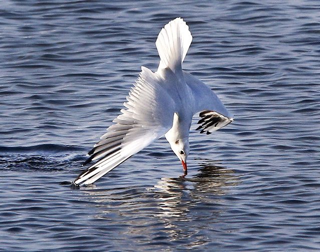 A gull speeds upside down into the water to catch food in the Baltic Sea near Gold on the island of Fehmarn, northern Germany. on Monday, October 24, 2016. (Photo by Michael Probst/AP Photo)