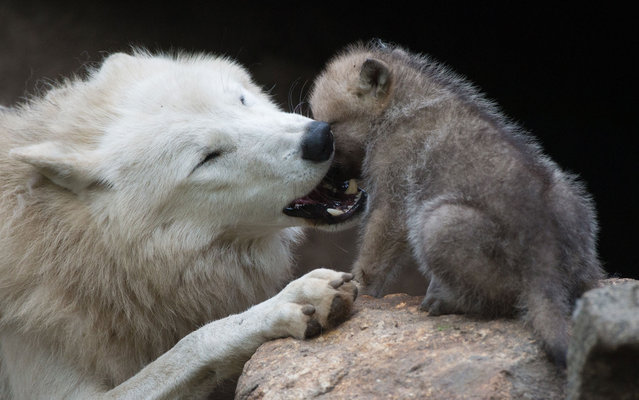 A wolf plays with a one-month-old puppy in its enclosure of Berlin's Zoo, on May 31, 2013. (Photo by Johannes Eisele/AFP Photo)