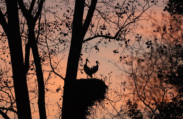 Two white storks stand close to each other on their nest on a tree in Zerbolo, Italy, Thursday, October 26, 2017. (Photo by Antonio Calanni/AP Photo)
