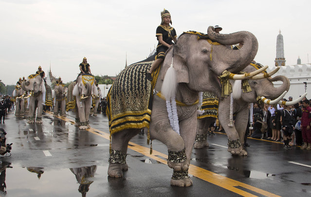 Mahouts lead a procession of 11 white elephants past the Grand Palace in honor of Thailand's King Bhumibol Adulyadej in Bangkok, Thailand, Tuesday, November 8, 2016. King Bhumibol died on Oct. 13 after reigning for 70 years, plunging the country into grief and extended mourning. The official mourning period is one year. (Photo by Mark Baker/AP Photo)