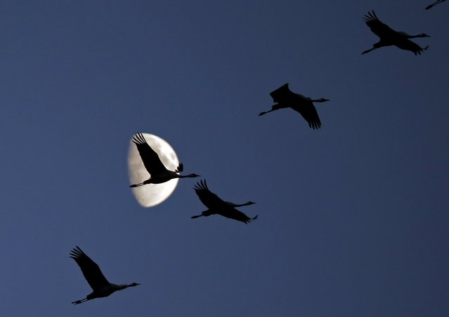 Cranes fly over the Great Plain of Hortobagy, Hungary October 22, 2015. (Photo by Laszlo Balogh/Reuters)