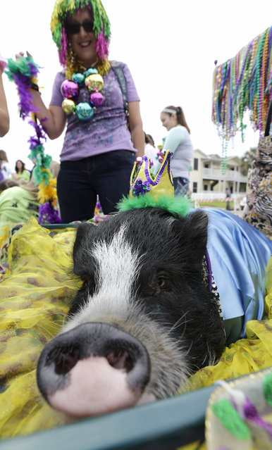 Angela Pizzitola stands with a pig named Emmitt James as they wait for the start of the Krewe of Barkus and Meoux parade along the seawall in Galveston, Texas, Sunday, February 15, 2015. (Photo by David J. Phillip/AP Photo)