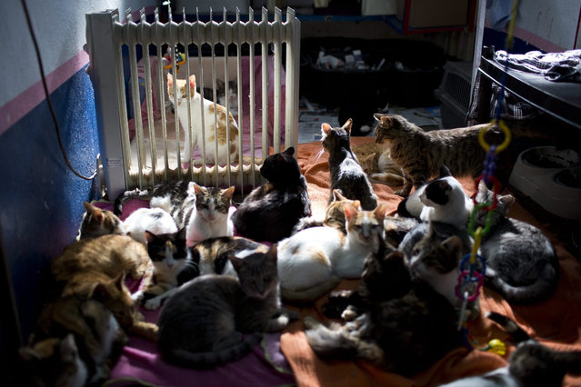 Feral cats lay near a stove to warm up in the shelter house for feral cats at the SPCA (Society for Prevention of Cruelty to Animals) in Jerusalem, Israel 06 January 2016. (Photo by Abir Sultan/EPA)