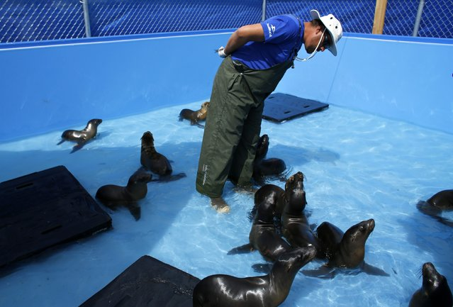 In one of two pools built specifically to deal with rescued sea lions at SeaWorld, an animal care specialist looks over malnourished sea lions at Sea World in San Diego, California March 17, 2015. (Photo by Mike Blake/Reuters)