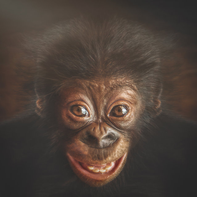 These portraits reveal the incredibly humanlike expressions of a variety of apes.Through piercing eyes and finite facial details, the intimate photographs show the animals looking angry, sad, delighted and pensive. They are the works of Manuela Kulpa – an IT consultant and keen photographer from near Cologne, Germany – who shot the apes predominantly at zoos across Austria, Belgium, the Czech Republic, Germany and the Netherlands. Here: Bonobo, Azibo. (Photo by Manuela Kulpa/Caters News)
