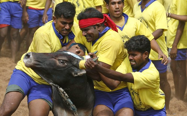 Bull tamers try to control a bull during the bull-taming sport called Jallikattu, in Palamedu, about 575 kilomters (359 miles) south of Chennai, India, Tuesday, January 15, 2013. (Photo by Arun Sankar K./AP Photo)