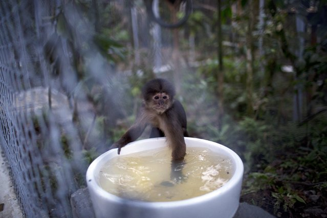 In this April 18, 2015 photo, a monkey dips its hand into a water receptacle at the Amazon Animal Orphanage in the Pilpintuwasi rainforest, near Iquitos, Peru. The monkey was among 39 animals that Animal Defenders International, with the assistance of the Peru's air force and navy, airlifted Saturday to the animal refuge in Peru's amazon rainforest from Lima, where they were held after being rescued from animal traffickers and circus programs. (Photo by Rodrigo Abd/AP Photo)