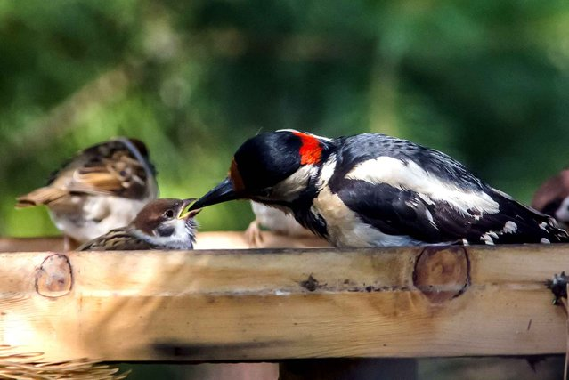 This is the adorable moment a generous woodpecker was captured sharing its food with a tiny sparrow. Spotted in the back garden of photographer Ekaterina Lashkova, 40, in Saint Petersburg, Russia, the two species were snapped happily feeding their offspring, side-by-side. But in a bizarre turn of events the CHIRPY woodpecker decided there was plenty of food to go around and is seen placing nuts and seed inside the beak of a baby sparrow. (Photo by Caters News Agency/SIPA Press)