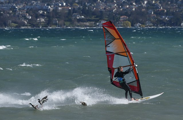 A windsurfer performs a maneuver near ducks on a strong northerly windy day on Lake Leman in Geneva, Switzerland, March 23, 2016. (Photo by Denis Balibouse/Reuters)